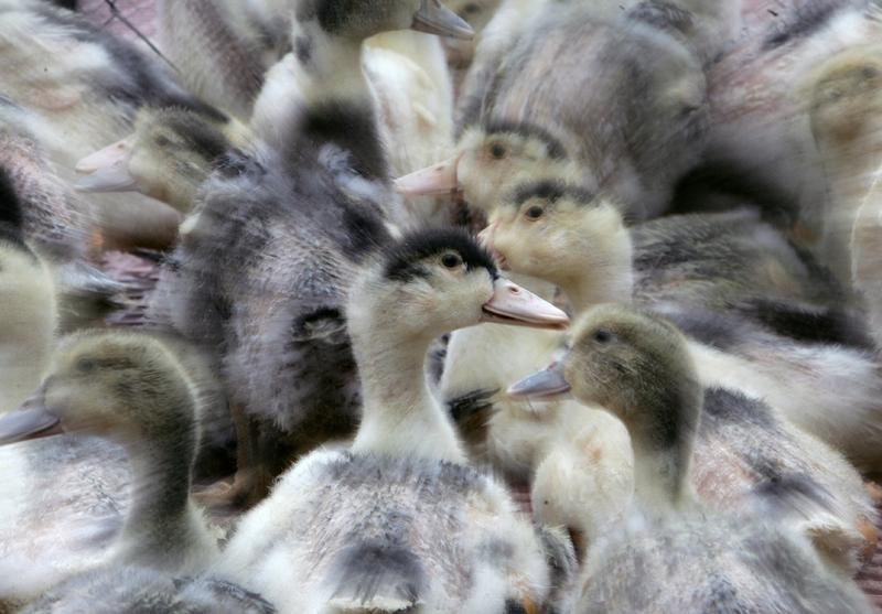 Sept élevages du Sud-Ouest touchés — Grippe aviaire